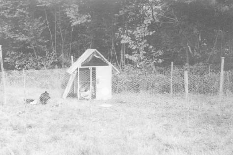Kippen op kamp chiro Melle, Willerzie, 1974