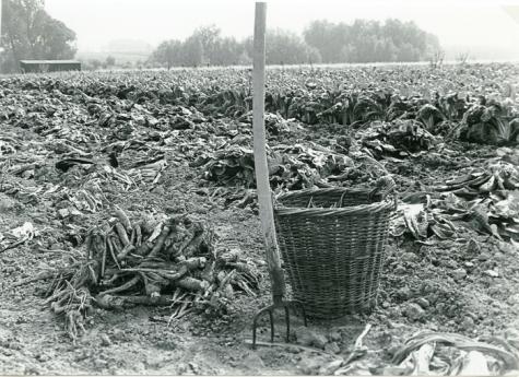 Stilleven in de witloofteelt, Sint-Lievens-Houtem, 1960-1970