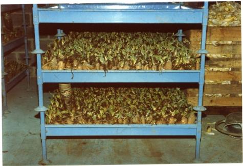 Partij witloofwortels klaar voor de kweekcel, witloofbedrijf Van De Keere, Sint-Lievens-Houtem, 1995