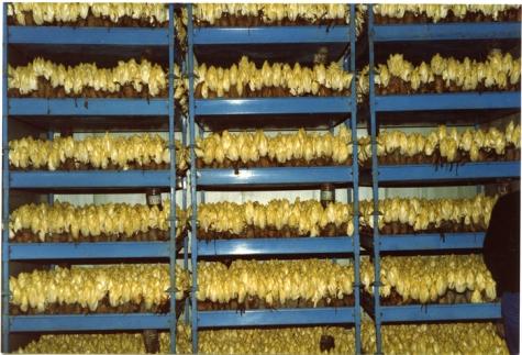 Witloof in kweekcel, witloofbedrijf Van De Keere, Sint-Lievens-Houtem, jaren 1990