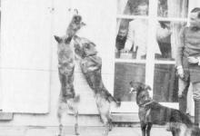 Honden voor de ramen van kasteel Pijcke, Melle, 1917.