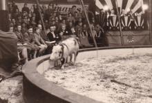 Toto en zijn varken, Circus Appolinaris, 1955