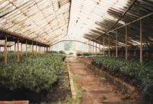 Azalea's in de serre van bloemisterij Debersaques, Destelbergen, 1991