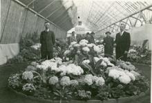 Jan De Pauw rooit witloofwortels, Sint-Lievens-Houtem, 1965.