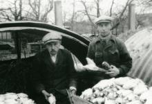 Jan en Petrus De Pauw met witloof, Sint-Lievens-Houtem, 1957.