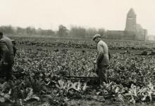 Jan De Pauw rooit witloofwortels, Sint-Lievens-Houtem, 1965