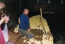 Witloof oogsten in de schuur bij Van De Keere, Sint-Lievens-Houtem, eind jaren 1980
