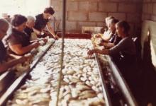 Kuisen van witloof, Sint-Lievens-Houtem, 1970-1980