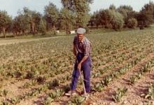 Schoffelen op het veld, Sint-Lievens-Houtem, 1970-1980