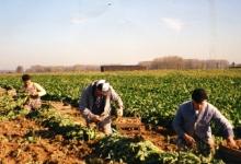 Witloofwortels oogsten bij Van De Slijke, Sint-Lievens-Houtem, jaren 1970-1980