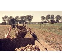Aardappelen rooien, Oosterzele, jaren '70