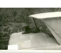 Hond doet dutje op auto, Sint-Lievens-Houtem, jaren 1960