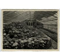 Hortensia's in de serre, Rijkstuinbouwschool, Melle