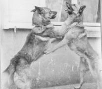 Honden aan kasteel Pycke, Melle, 1917