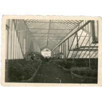 Bloemisterij Van Hecke met azalea's, Zaffelare, 1940-1950.