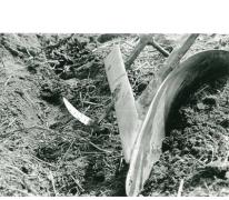 Azalea japonica, klaar voor transport, Zaffelare, 1940-1950.