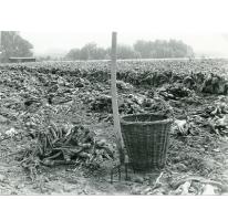 Piramide van azalea japonica, Zaffelare, 1940-1950.