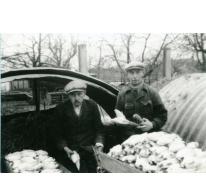Jan en Petrus De Pauw met witloof, Sint-Lievens-Houtem, 1957