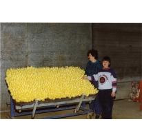 Vers witloof uit de kweekcel, witloofbedrijf Van De Keere, Sint-Lievens-Houtem, 1995