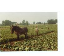 Witloofwortels rooien met paard en ploeg bij Van De Keere, Sint-Lievens-Houtem, jaren 1970