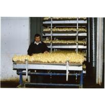 Kweekcel witloofbedrijf Van De Keere, Sint-Lievens-Houtem, jaren 1990