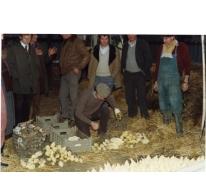 Bedrijfsbezoek witloofbedrijf, witloof uitpakken, Frankrijk, jaren 1980