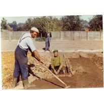 Inzetten van witloofwortels, Sint-Lievens-Houtem, jaren 1980