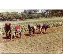 Wieden op het witloofveld, Sint-Lievens-Houtem, jaren 1970-1980