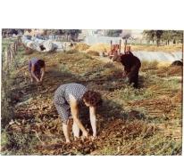 Productie witloofzaad, witloofkweker Van De Slijke, Sint-Lievens-Houtem, jaren 1970-1980