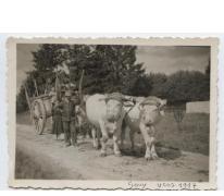 Ossenspan in Gouy Les Grosseillers, Dept. Oise, France, 1917